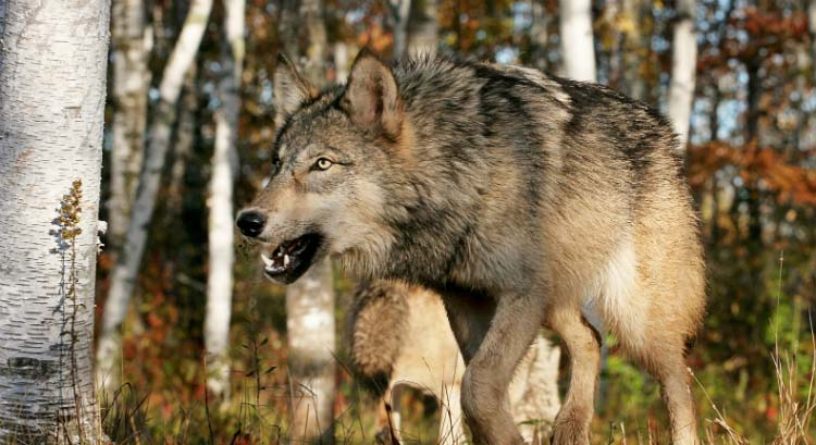 A snarling wolf represents threats to United States economic growth in 2018