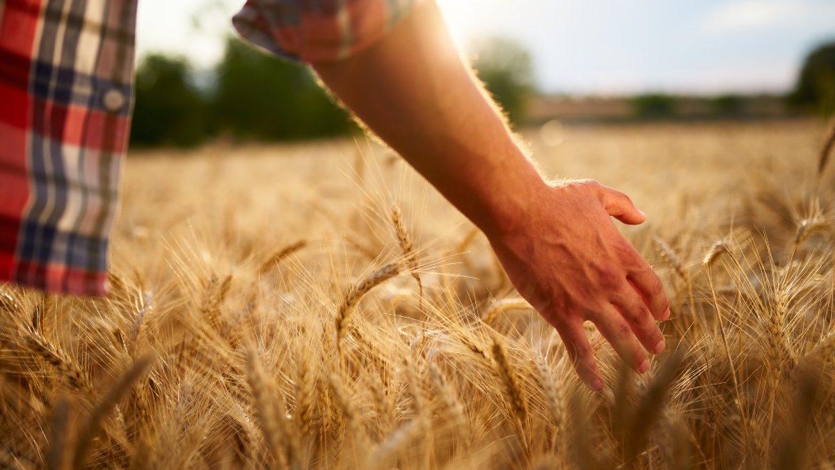 Farmer touching ripe wheat
